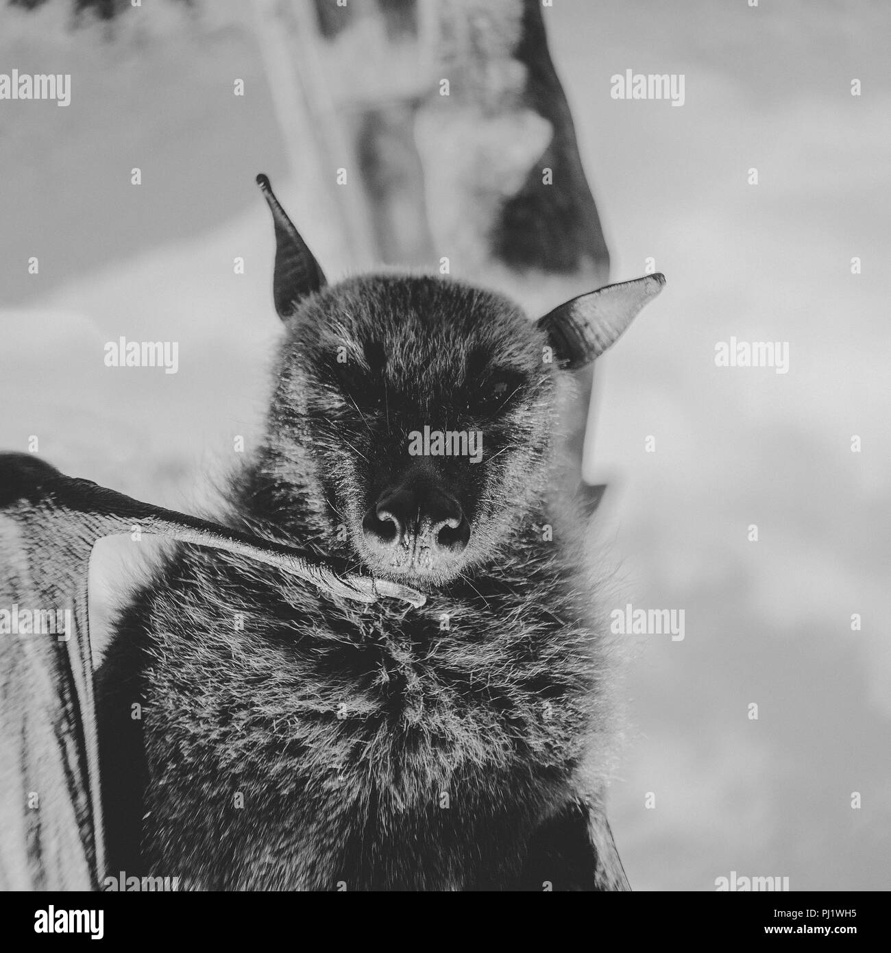 Black And White Portrait Of A Giant Fruit Bat/Flying Fox Hanging; Black and white series of portraits of a fruit bat or flying fox Stock Photo