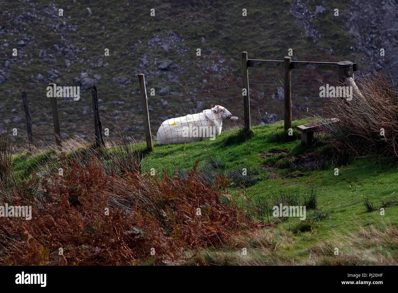 Sheep on hillside, Cad West, Machynlleth Loop, near Dolgellau, Wales, United Kingdom Stock Photo