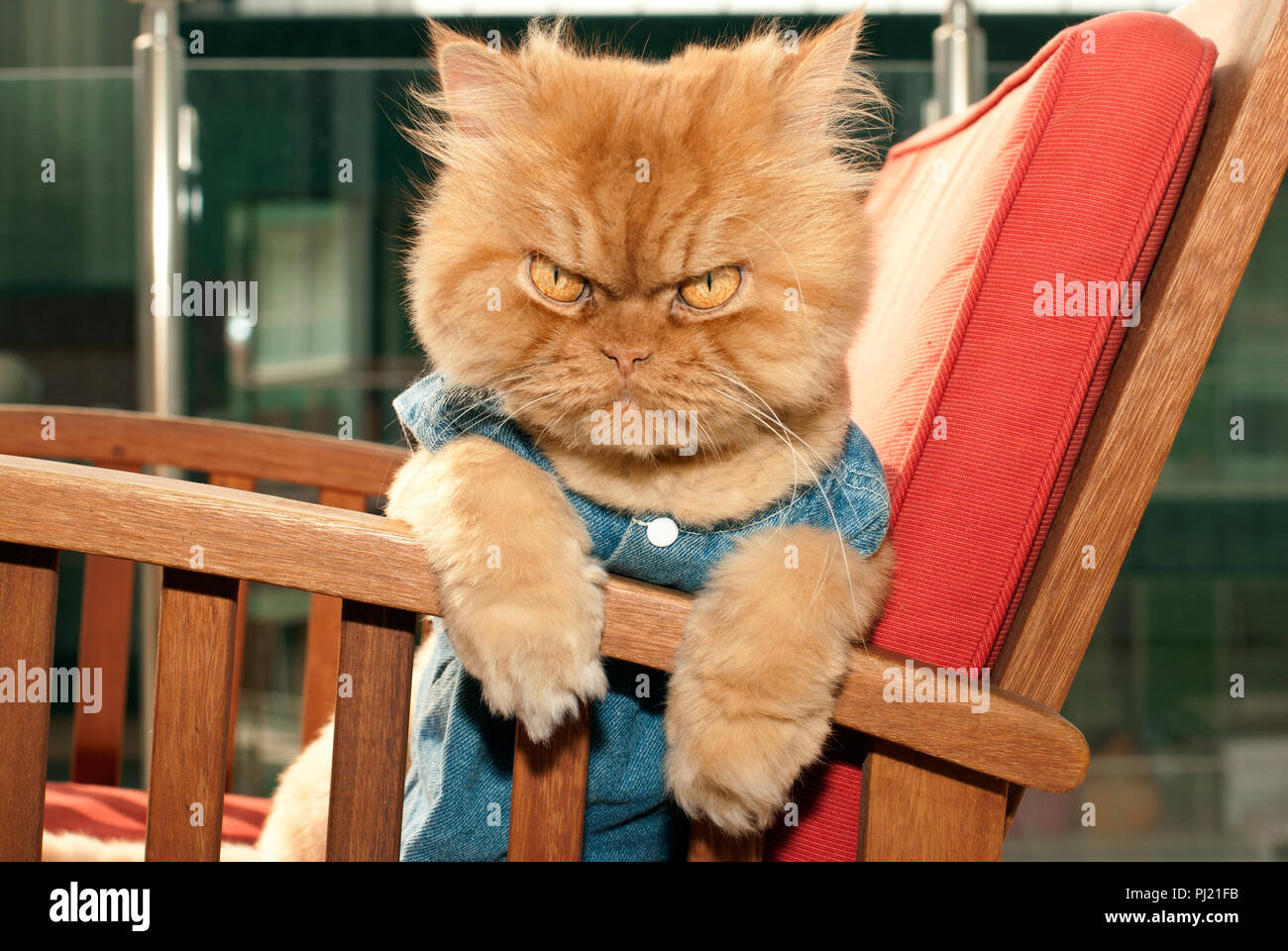 Red traditional  Persian cat sitting on chair - Stock Image