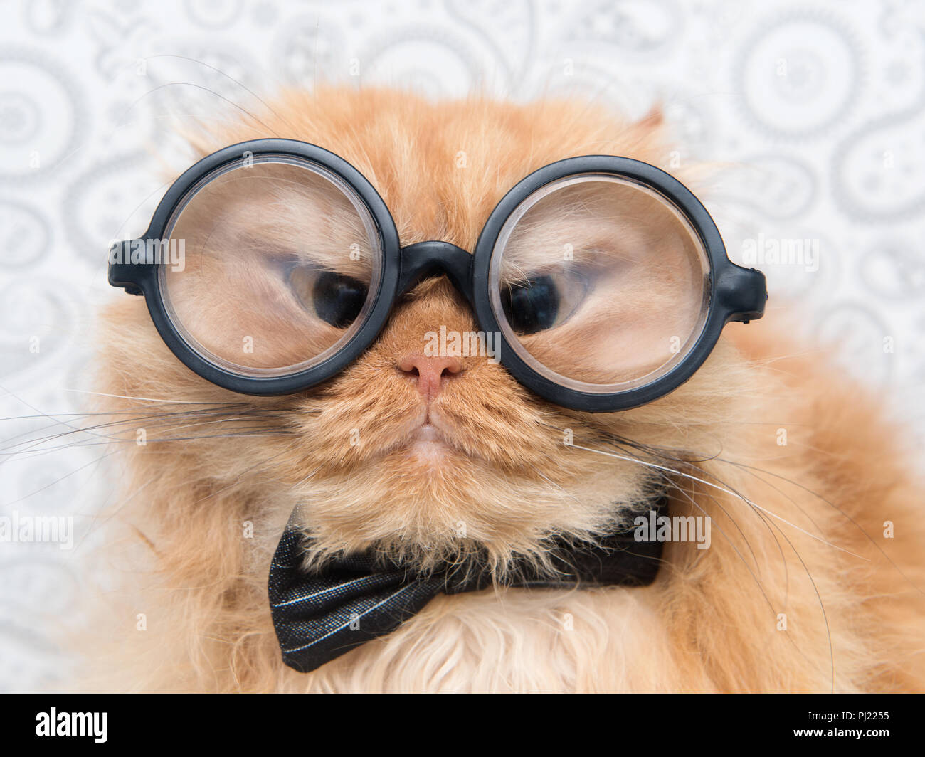 Funny Persian cat with big round eye glasses. - Stock Image
