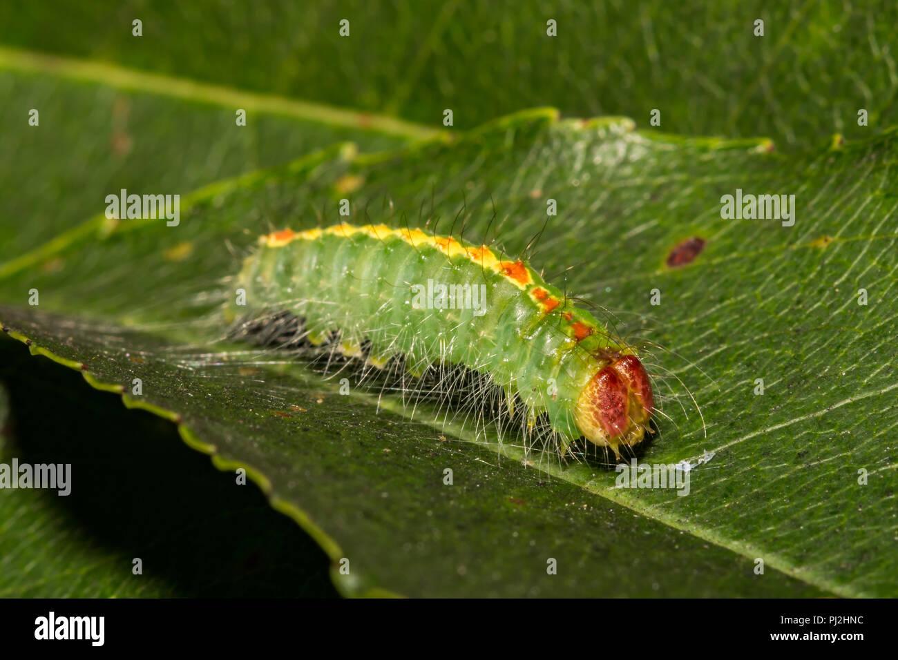 Cherry Dagger Moth Caterpillar (Acronicta hasta) - Stock Image