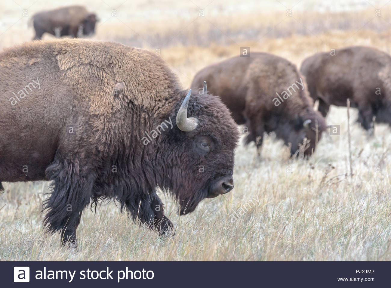 Buffalo Bison Skull Stock Photos & Buffalo Bison Skull Stock Images ...