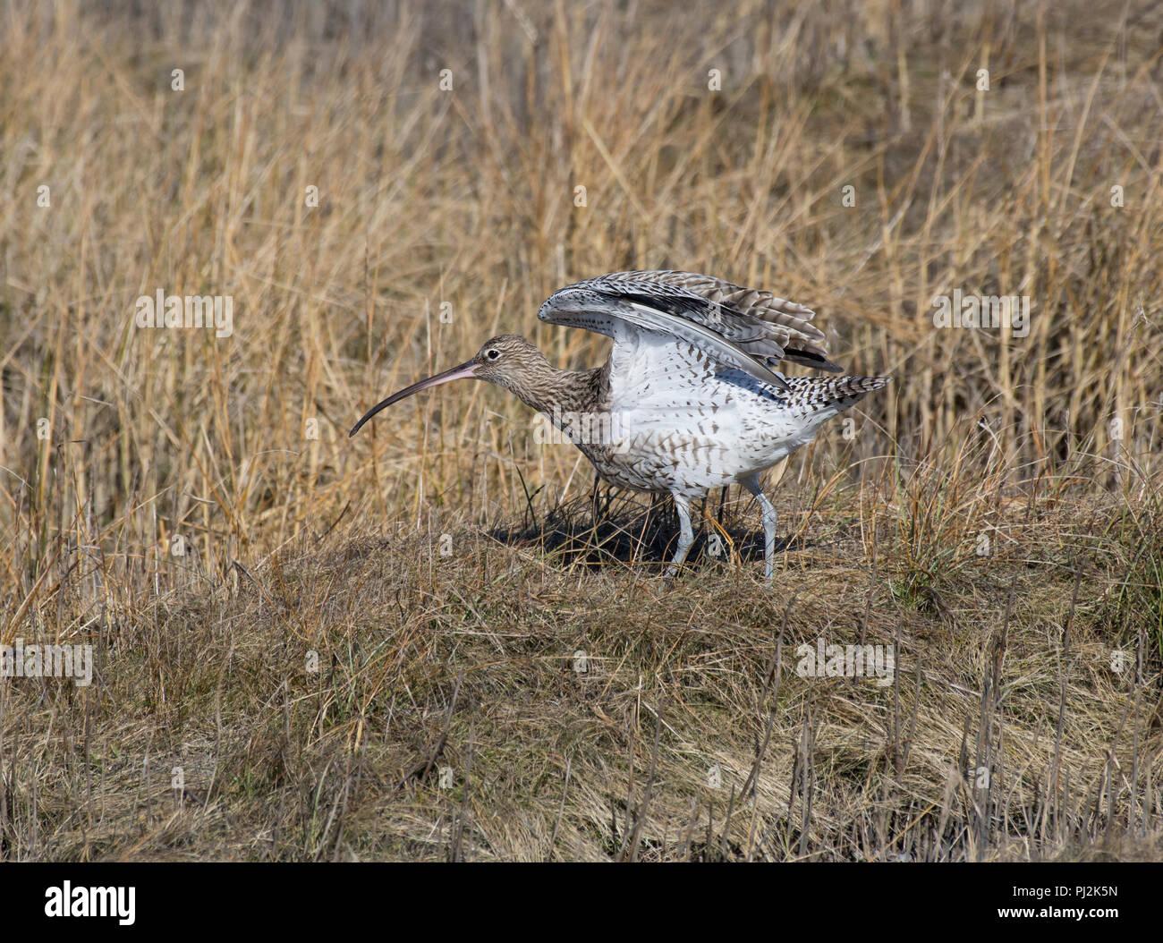 Curlew, Numenius arquata, stretching in salt marsh, Morecambe Bay, Lancashire, UK Stock Photo