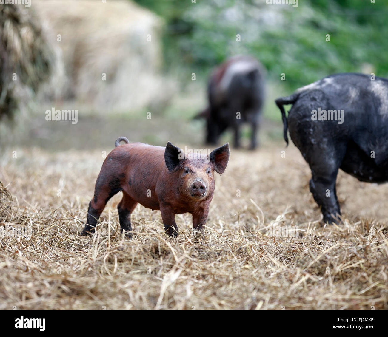 Piglet standing in outdoor pen, Manitoba, Canada. - Stock Image
