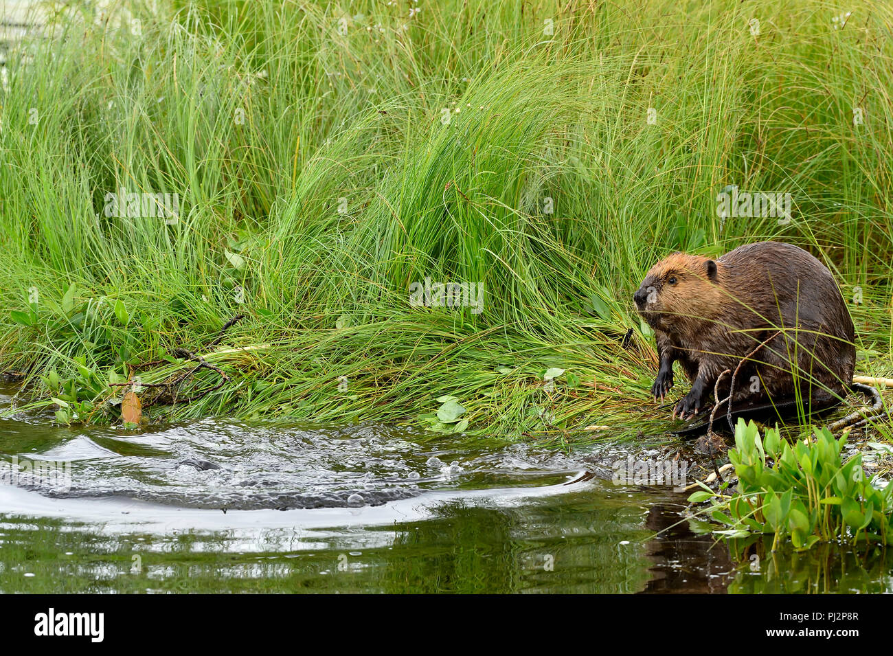 A young beaver  'Castor canadenis'; with a lost expression on his face after his mother dove into the waterleaving him sitting alone on the shore. - Stock Image