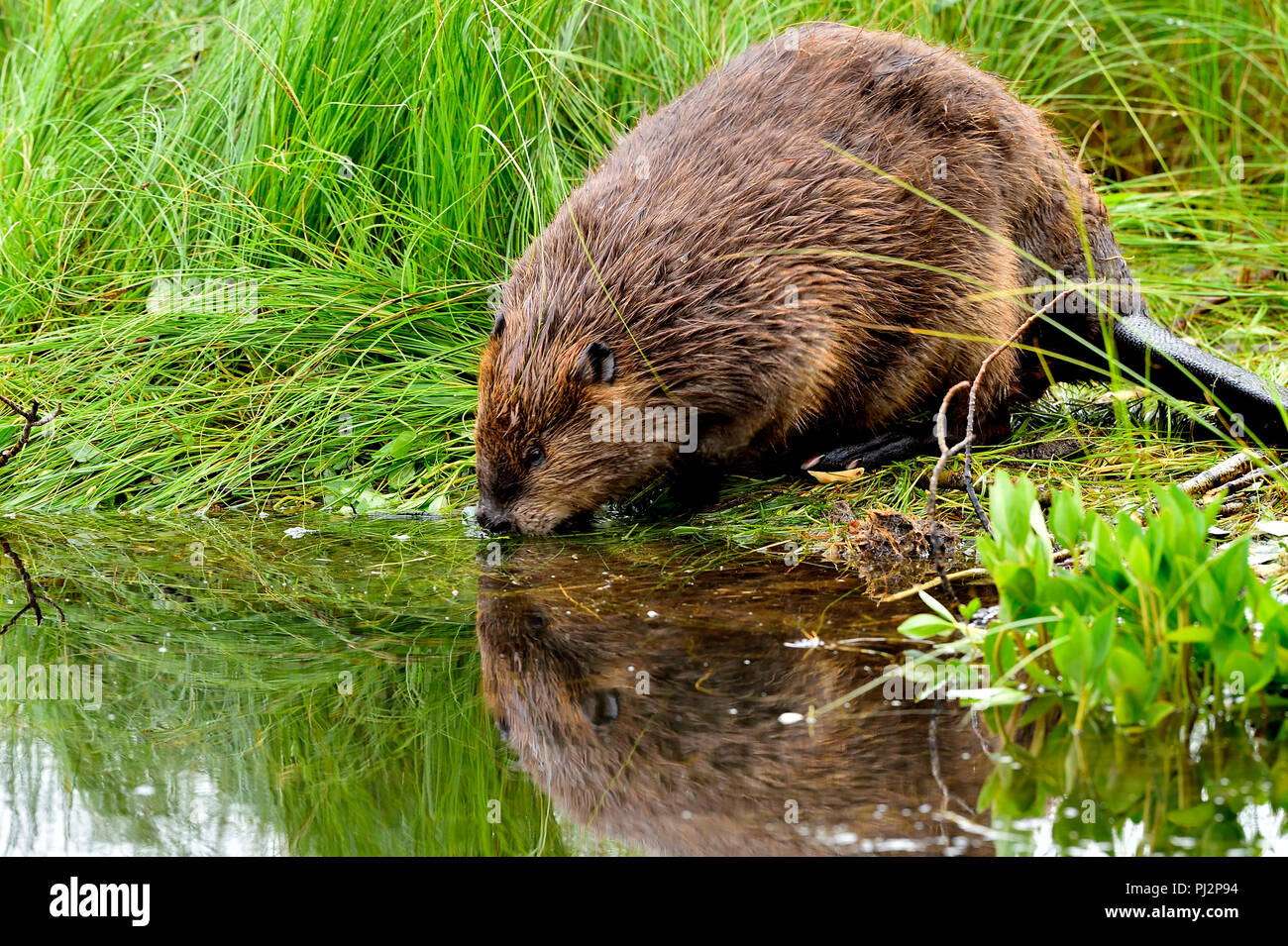 A beaver  'Castor canadenis'; on the shore looking at his facial reflection in the calm water of his beaver pond. - Stock Image
