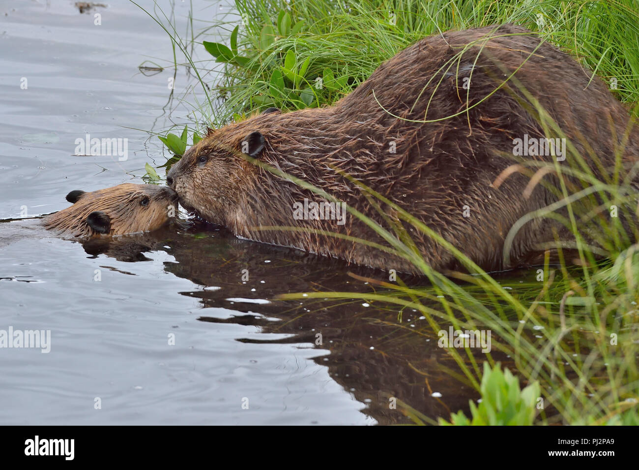 A mother beaver with her kit (Castor Canadensis); greeting each other nose nto nose on the shore of Maxwell Lake in Hinton Alberta Canada - Stock Image