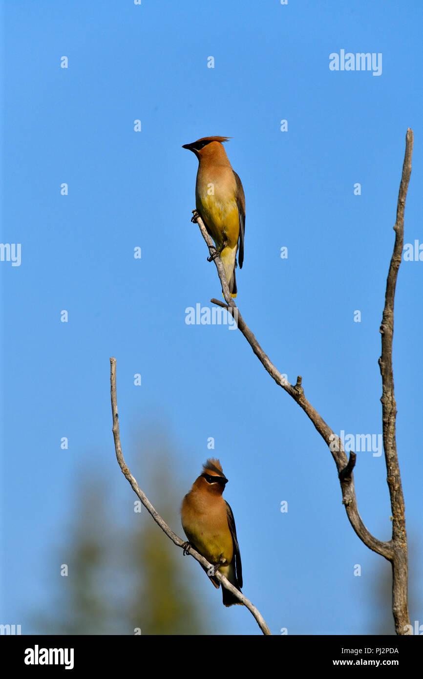 Two Cedar waxwing birds  (bombycillia cedrorum); perched in a bare branch in rural Alberta Canada - Stock Image