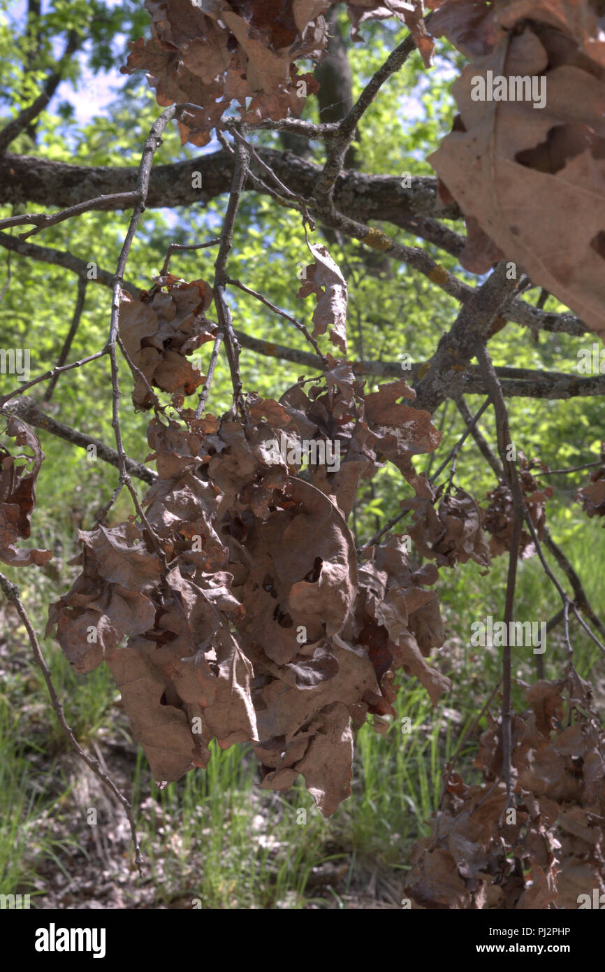 cluster of oak foliage. dried and warped brown bunches, hanging down from thin mossy branch - Stock Image