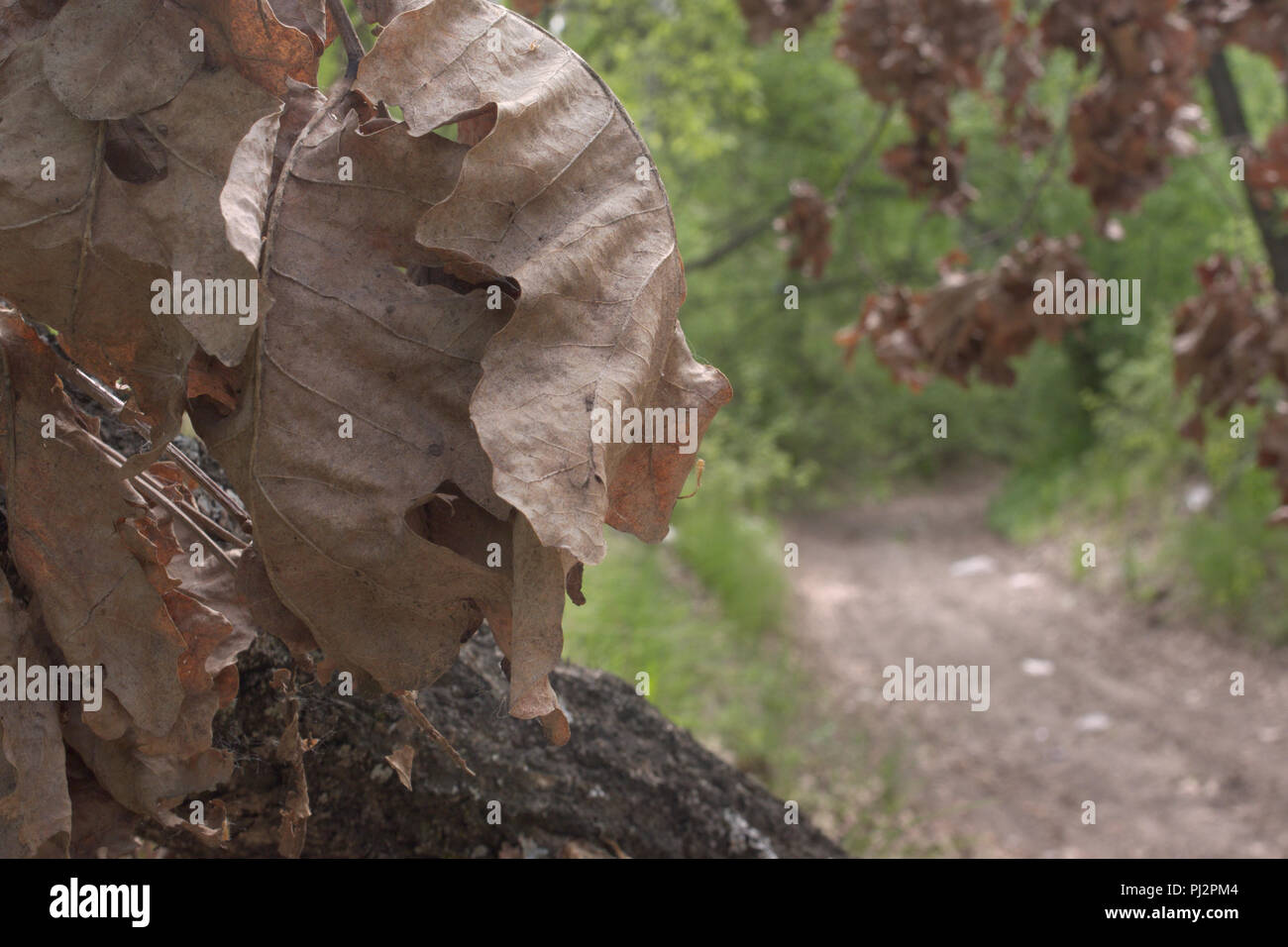 Oak leaves, large, withered, in lush bunch. closeup. dirt road under dry tree of a dense forest Stock Photo