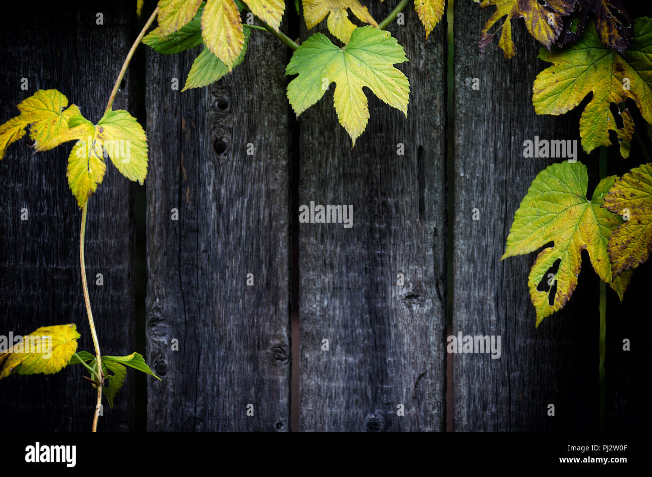 Old grey wooden background, frame of a weaving plant,  wild hop. Empty place for copy space. - Stock Image