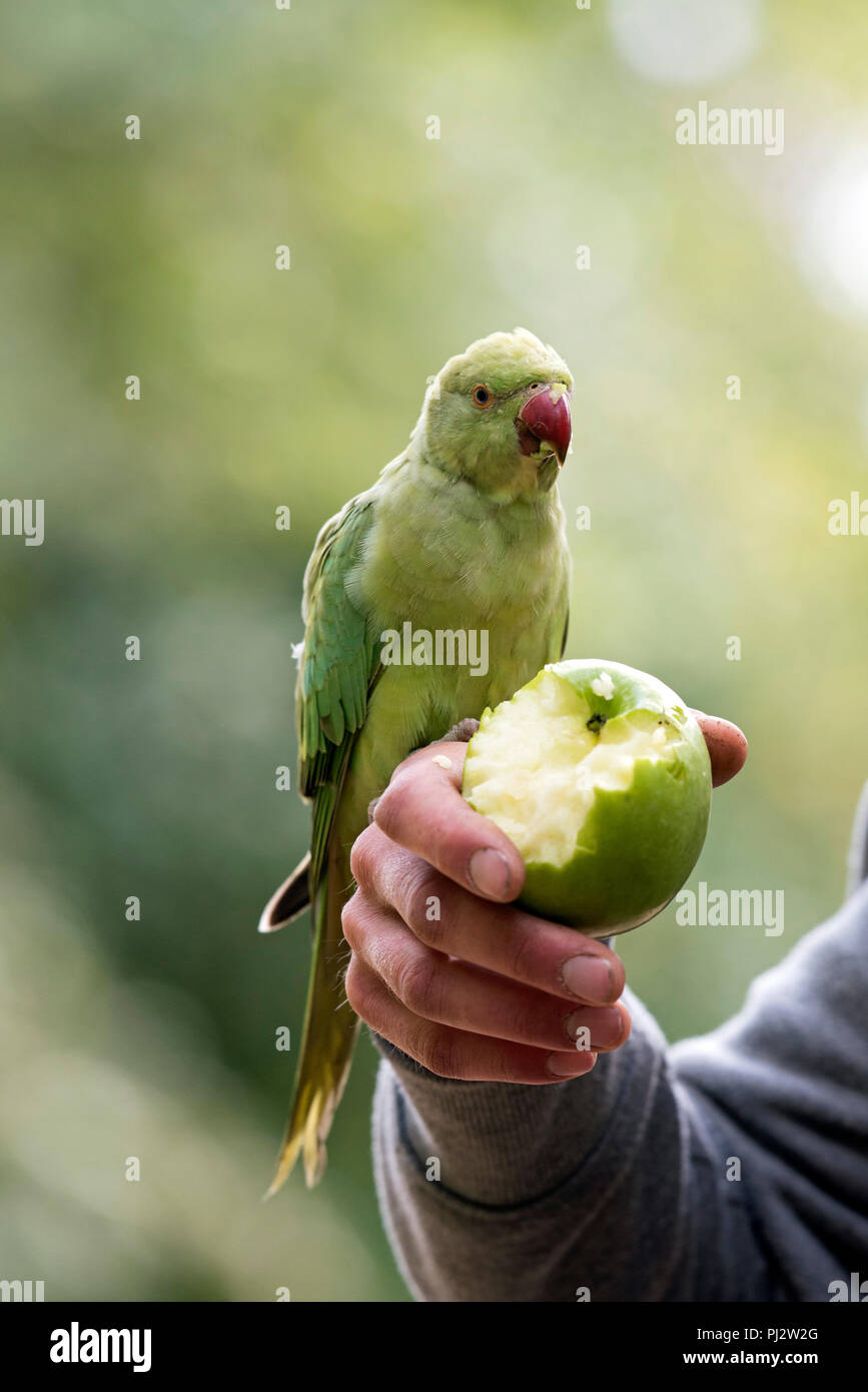 Ring-necked Parakeet - Psittacula krameri with green apple in mans hand, Central London, England Britain UK Stock Photo