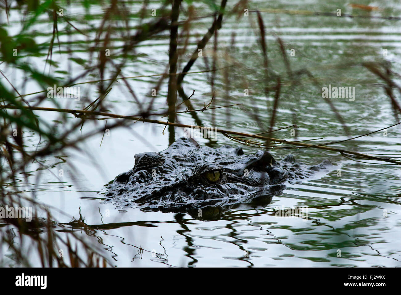 A Salt-water crocodile at crocodile breeding centre in the Sunderbans. It was established in Koromjol area of Mongla upazila in East Sundarbans Divisi - Stock Image