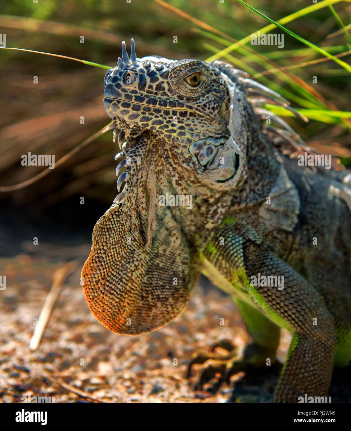 Portrait of Iguana - Stock Image