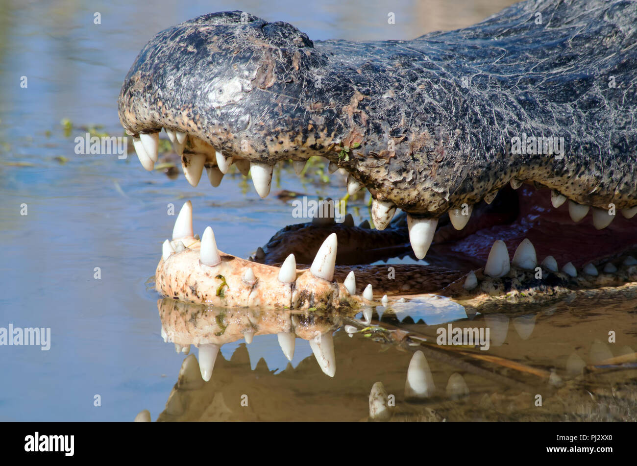 A close shot of the snout of an American Alligator showing teeth reflected in the marsh water. Leonabelle Turnbull Birding Center in Port Aransas, TX. Stock Photo