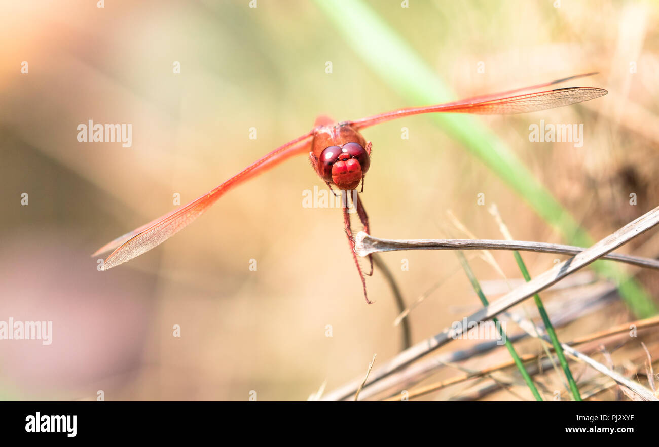 A red dragonfly rests on a dead piece of grass in northern California. Stock Photo