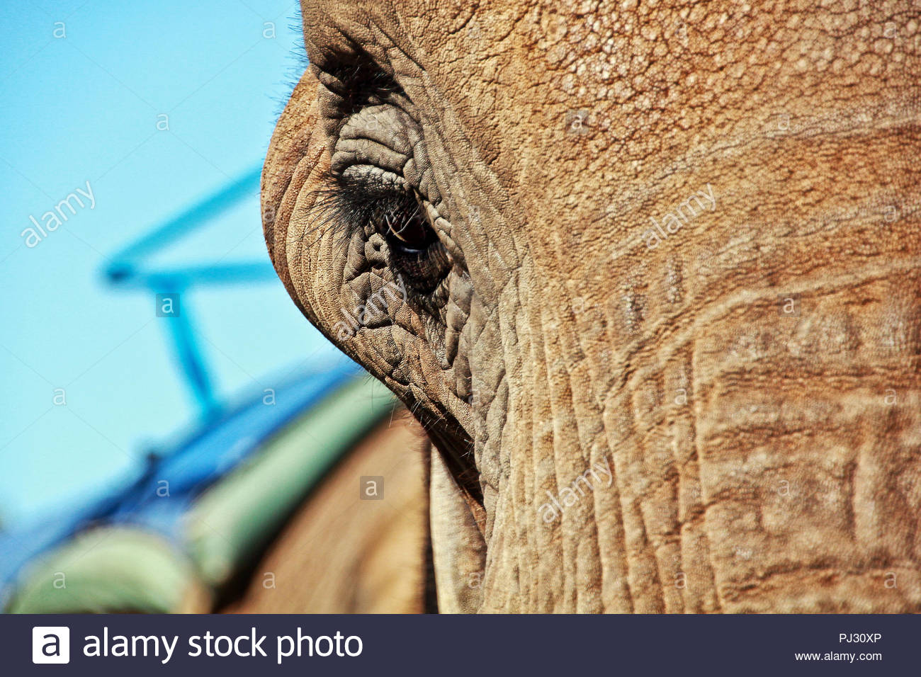 Cropped portrait of an elephant - Stock Image