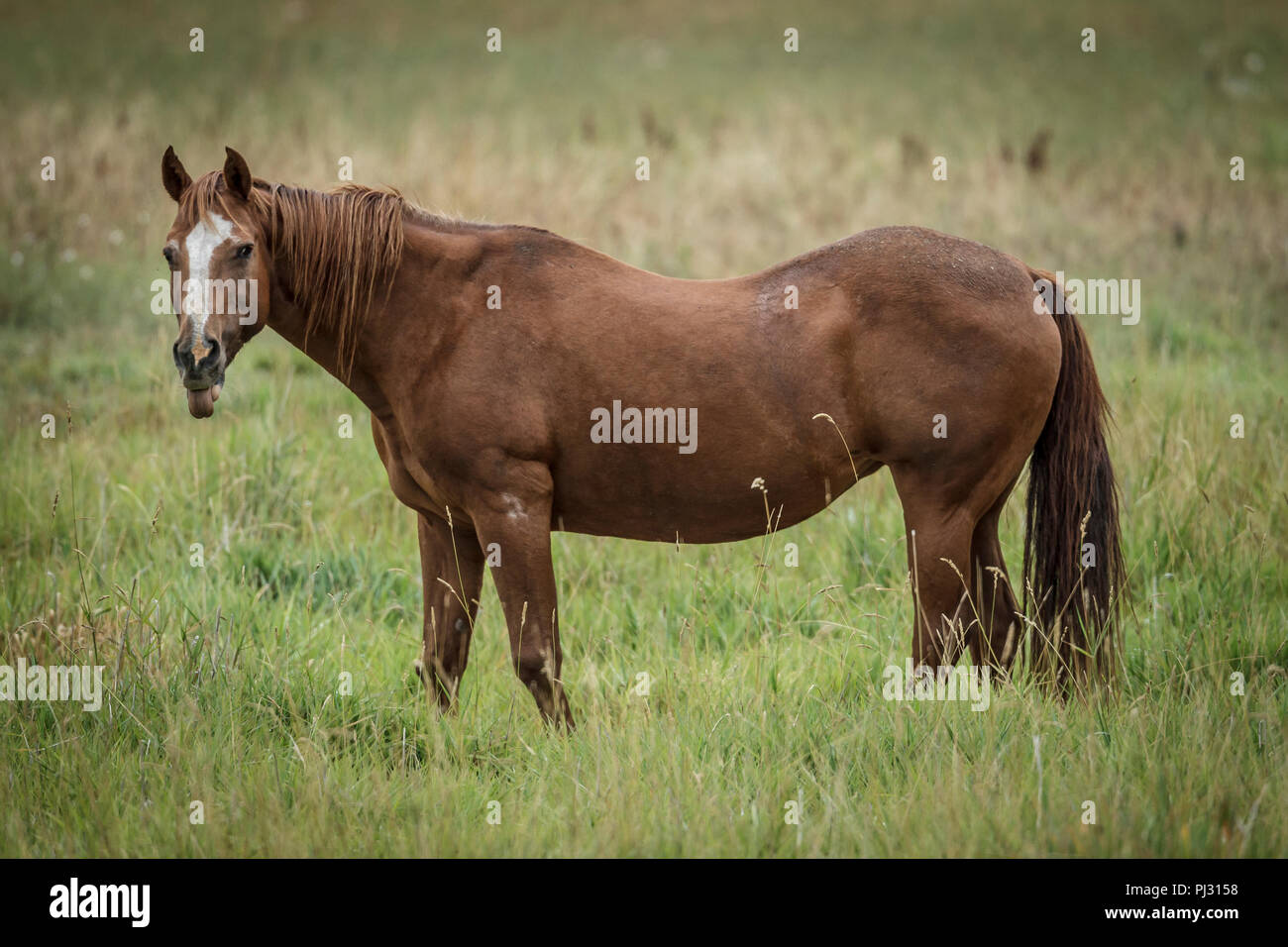 A chestnut colored horse stands in a grassy field near Hauser, Idaho. - Stock Image