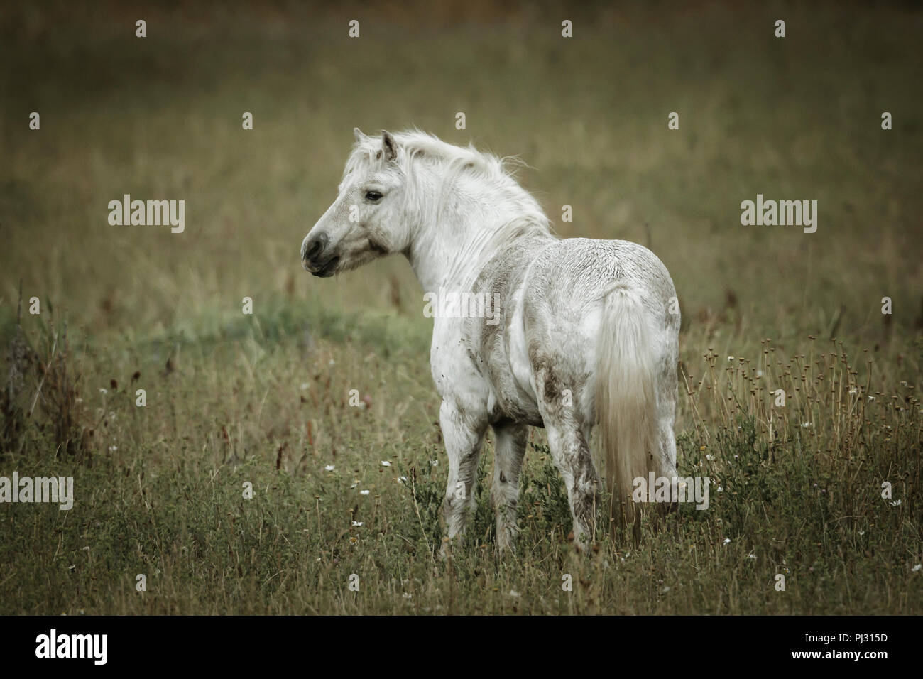 A small white colored horse stands in a field near Hauser, Idaho. - Stock Image