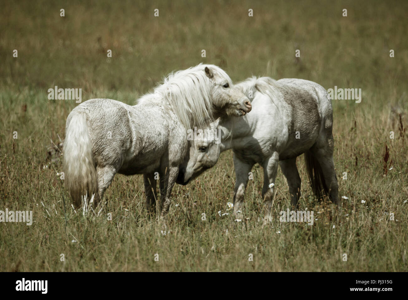 Two white horses interact with each other near Hauser, Idaho. - Stock Image