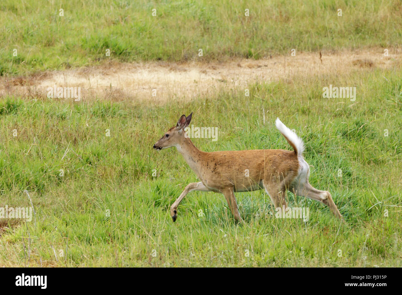 White tailed deer runs in a grassy field near Hauser, Idaho. - Stock Image