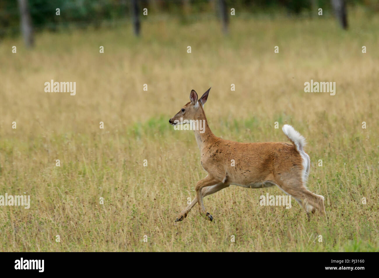A white tailed deer runs in a field near Hauser, Idaho. - Stock Image