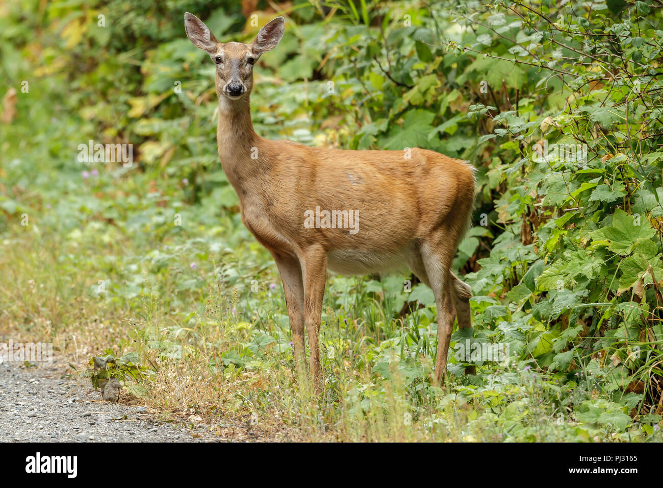 A white tailed deer stands by thick vegetation near Hauser, Idaho. - Stock Image