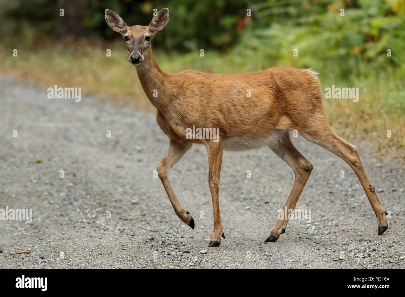 A white tailed deer crosses a gravel road near Hauser, Idaho. - Stock Image