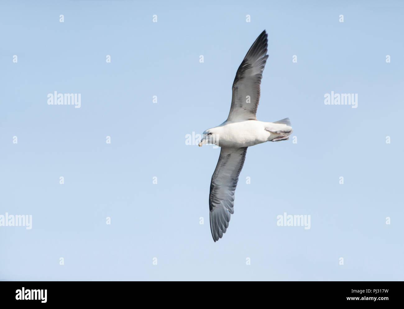 Fulmar, (Fulmarus glacialis), Northern Fulmar or sometimes Arctic Fulmar, in flight, Whitby coast, Yorkshire, British Isles Stock Photo