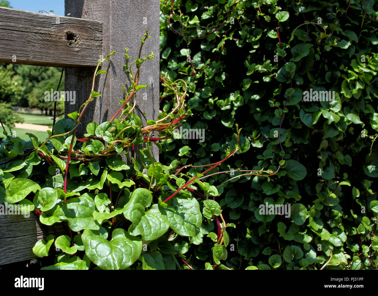 A Healthy And Prolific Vine Of Red Stemmed Malabar Spinach Is Climbing A  Wood Trellis