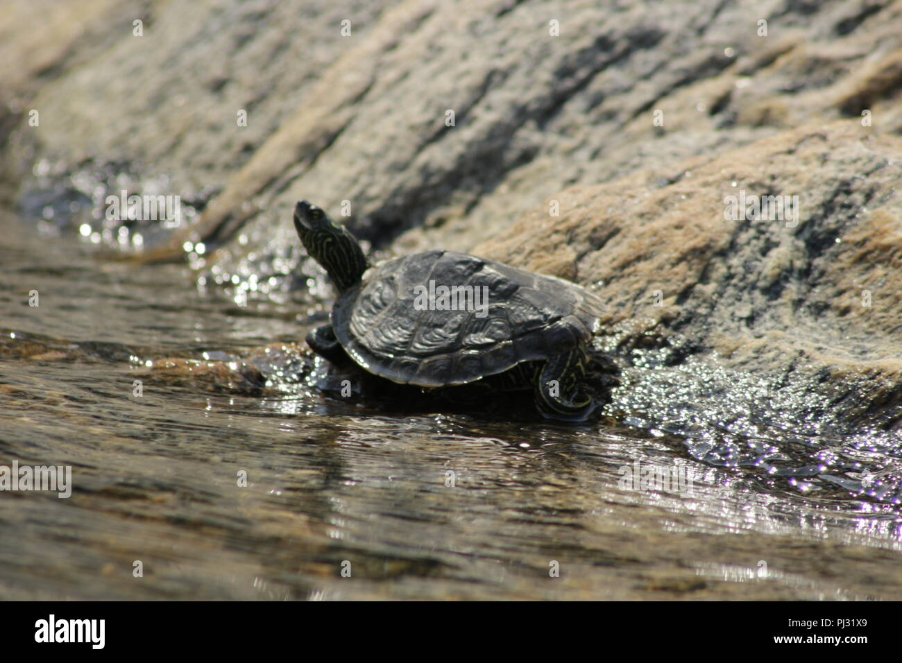 Northern Map Turtle stretched out by the edge of the water basking in the sun. Georgian bay, Canada - Stock Image