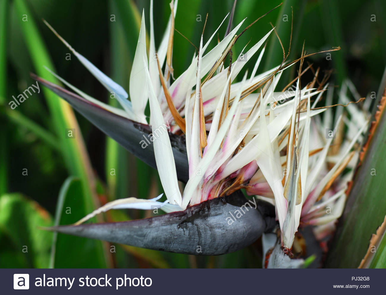 Strelitzia nicolai giant white bird of paradise flower in bloom in strelitzia nicolai giant white bird of paradise flower in bloom in spring mightylinksfo
