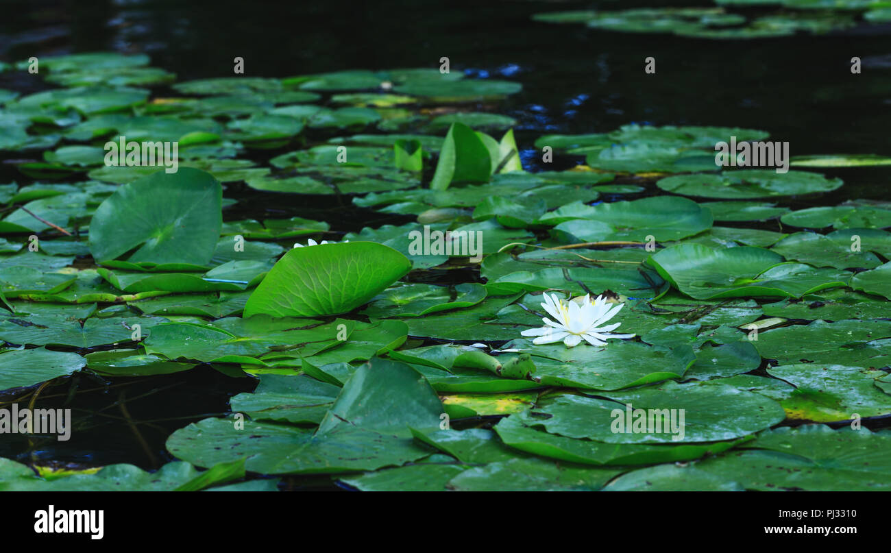 Lily flower blossoms or amazing lotus blooming on pond. White water lilies floating on a river landscape. Beautiful white flower with green leaves on  Stock Photo