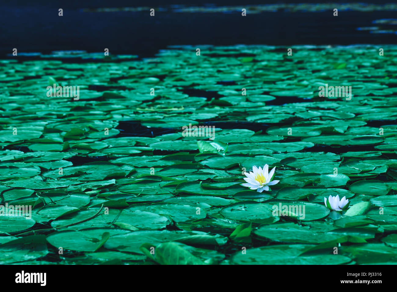 Pond With Water Lily Flowers Or White Lotus In Blooming Season