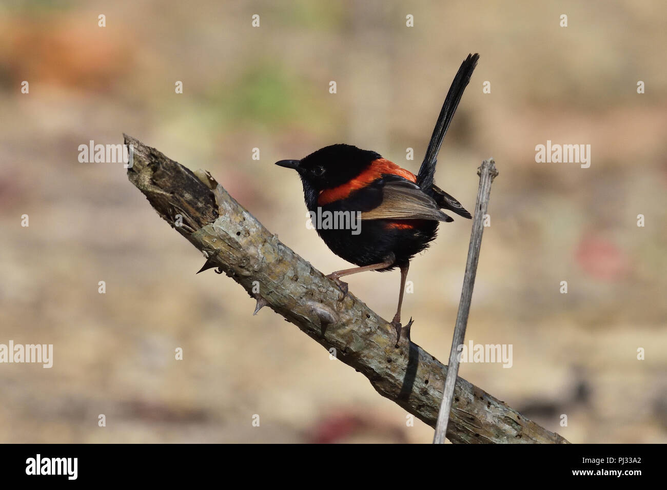 An Australian, Queensland Male Red-backed Fairy-wren ( Malurus melanocephalus ) perched on a tree - Stock Image