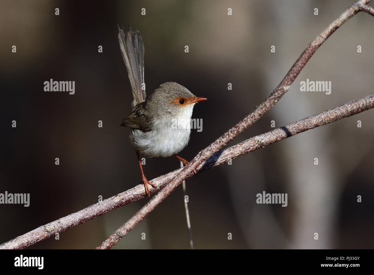 An Australian, Queensland Female Superb Fairy-wren ( Malurus cyaneus ) perched on a tree branch looking for food - Stock Image