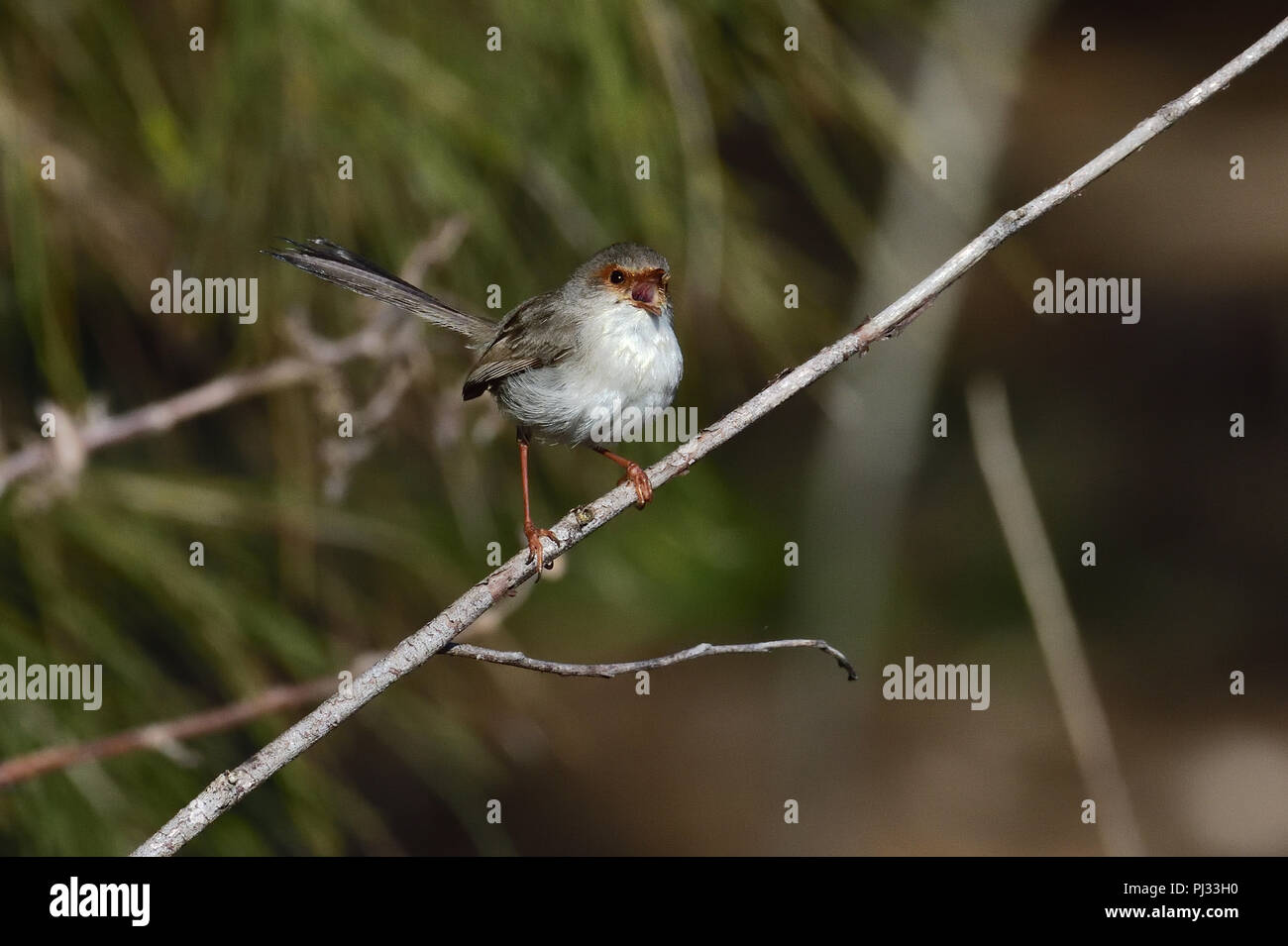 An Australian, Queensland Female Superb Fairy-wren ( Malurus cyaneus ) perched on a tree branch chirping - Stock Image
