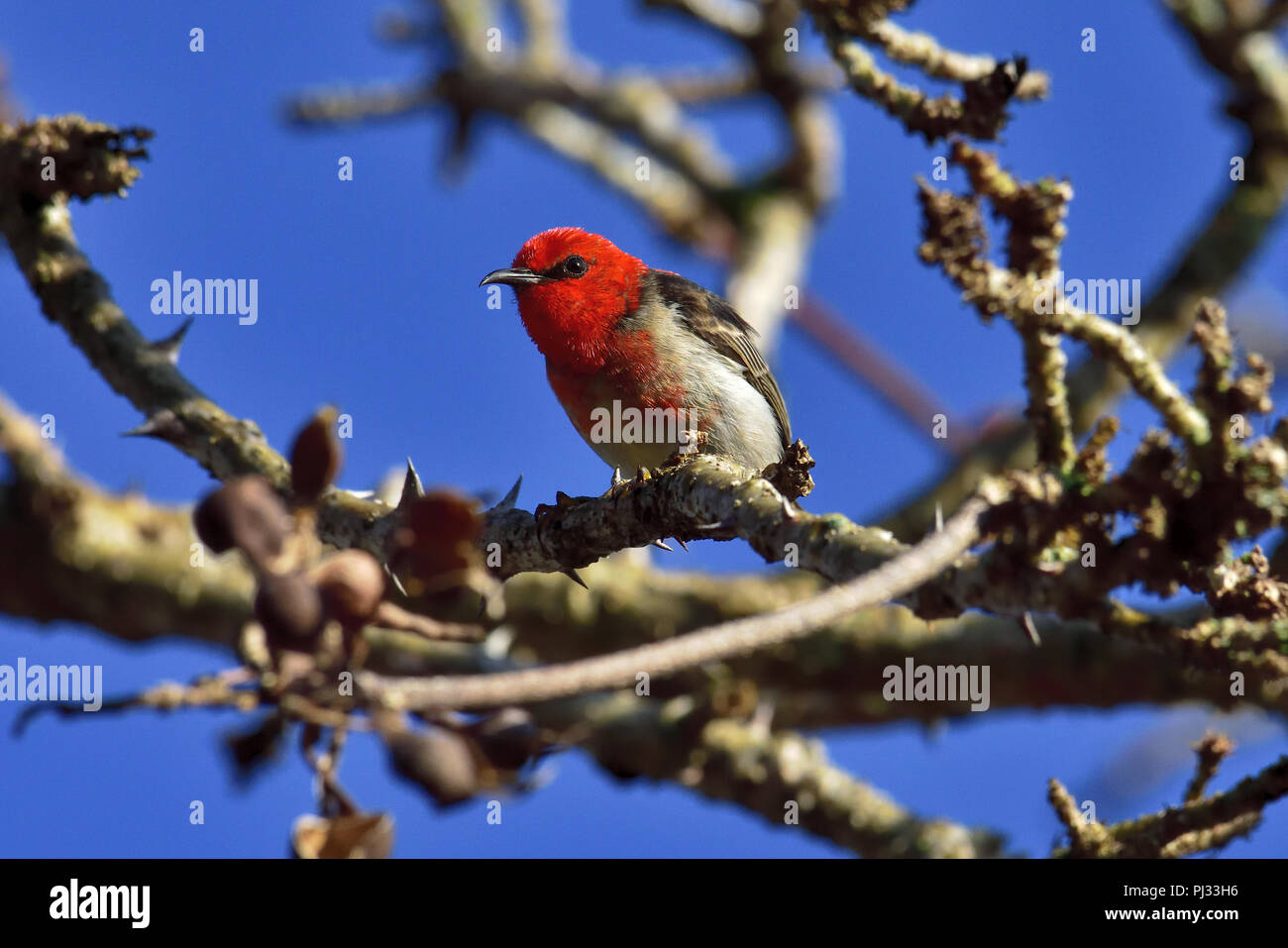 An Australian, Queensland Male Scarlet Honeyeater ( Myzomela sanguinolenta ) perched on a tree branch looking to Camera - Stock Image