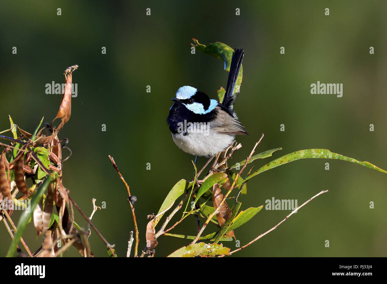 An Australian, Queensland Male Superb Fairy-wren ( Malurus cyaneus ) perched on a tree branch looking for food - Stock Image