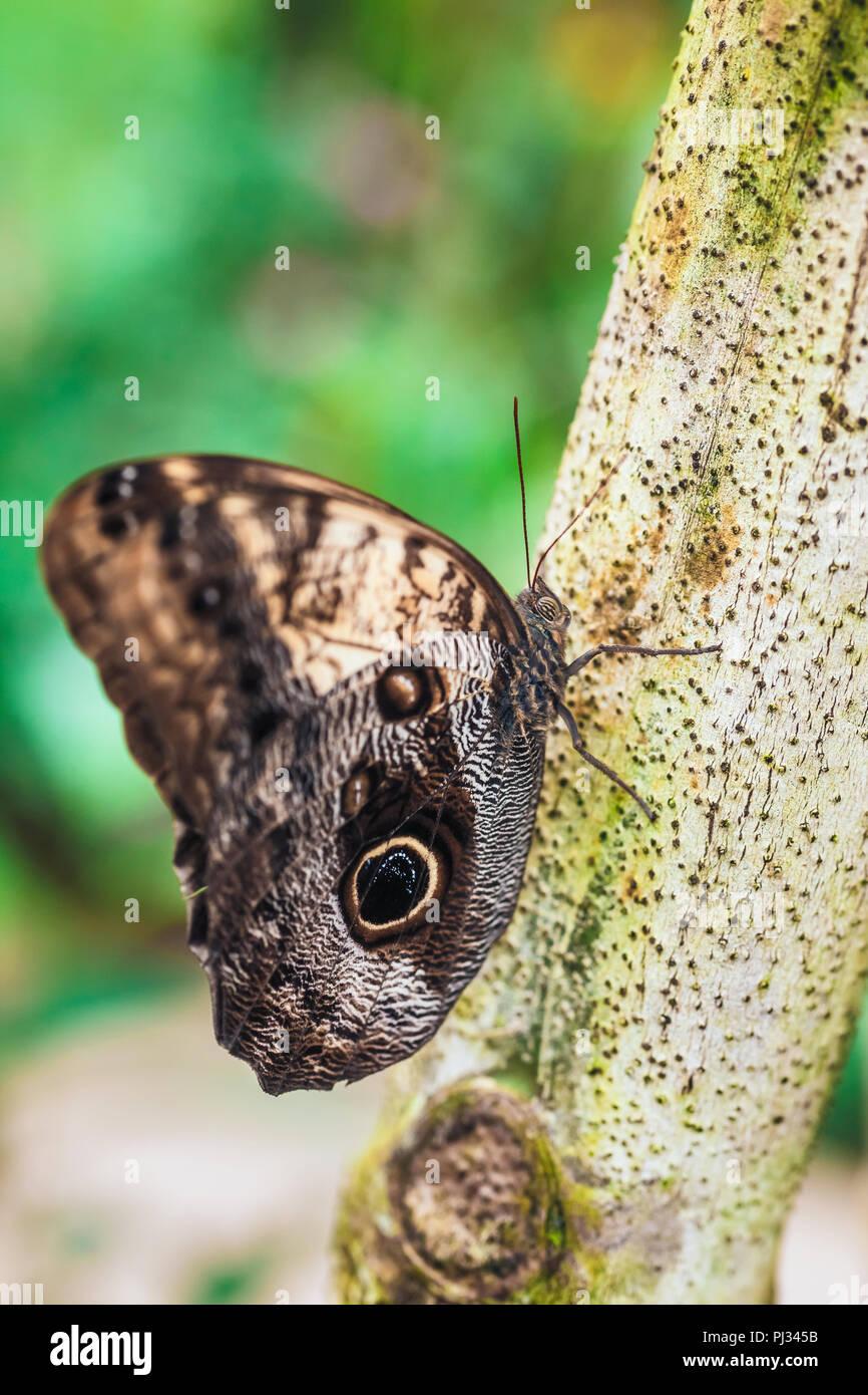 Close up of Caligo memmon butterfly Stock Photo