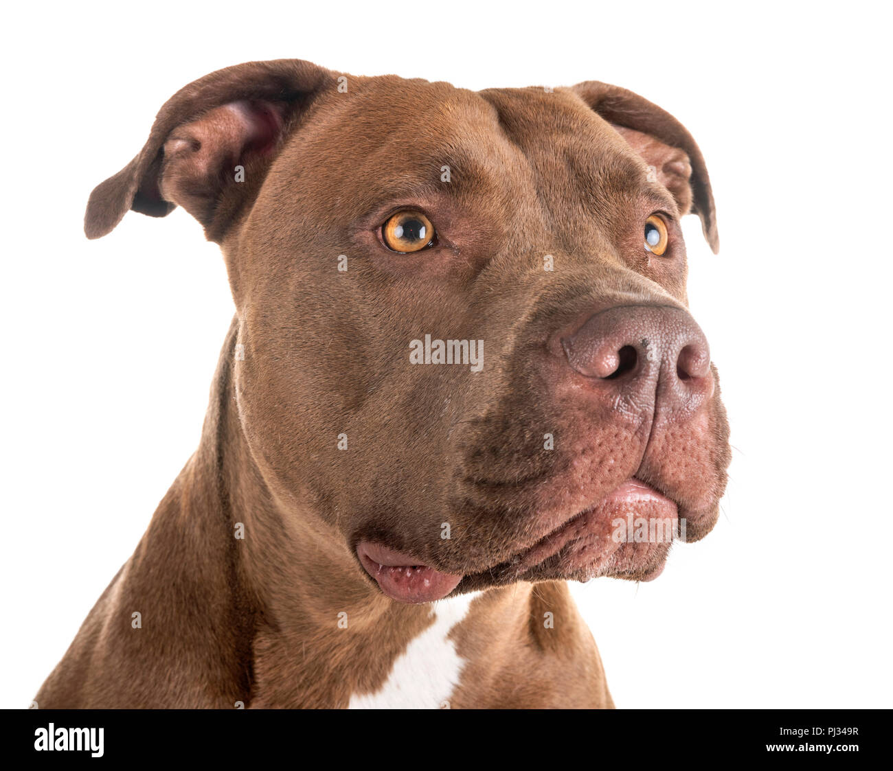 pitbull red nose in front of white background stock photo 217657491