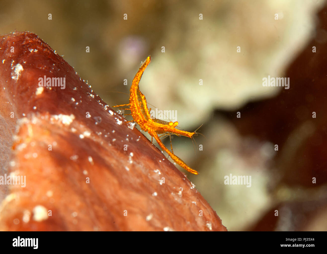 Golden shrimp resting on rock of Bali,Indonesia Stock Photo
