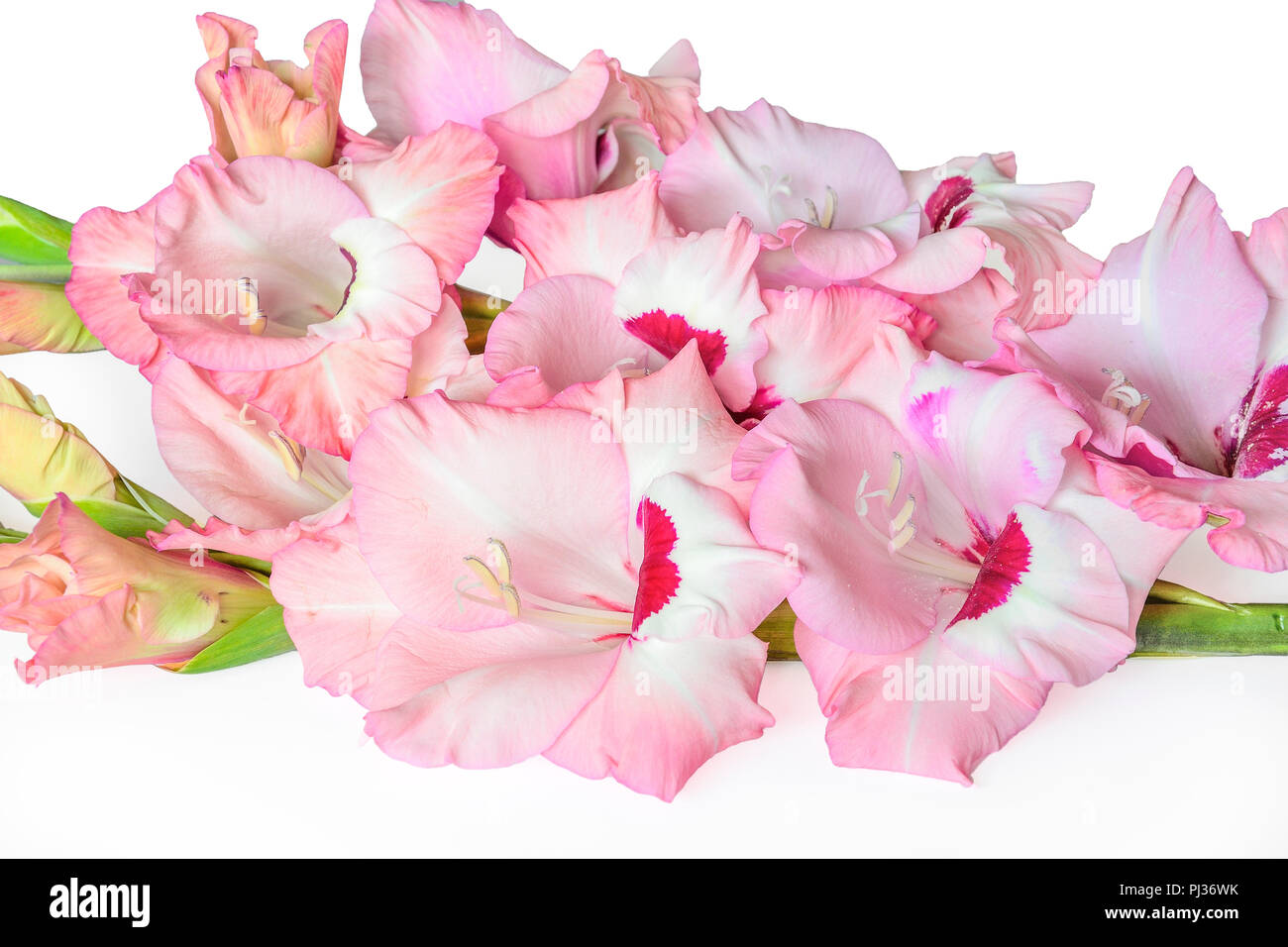 Pink flowers white edges stock photos pink flowers white edges bouquet of gentle pink with magenta gladiolus flowers with wavy edges of petals close up mightylinksfo
