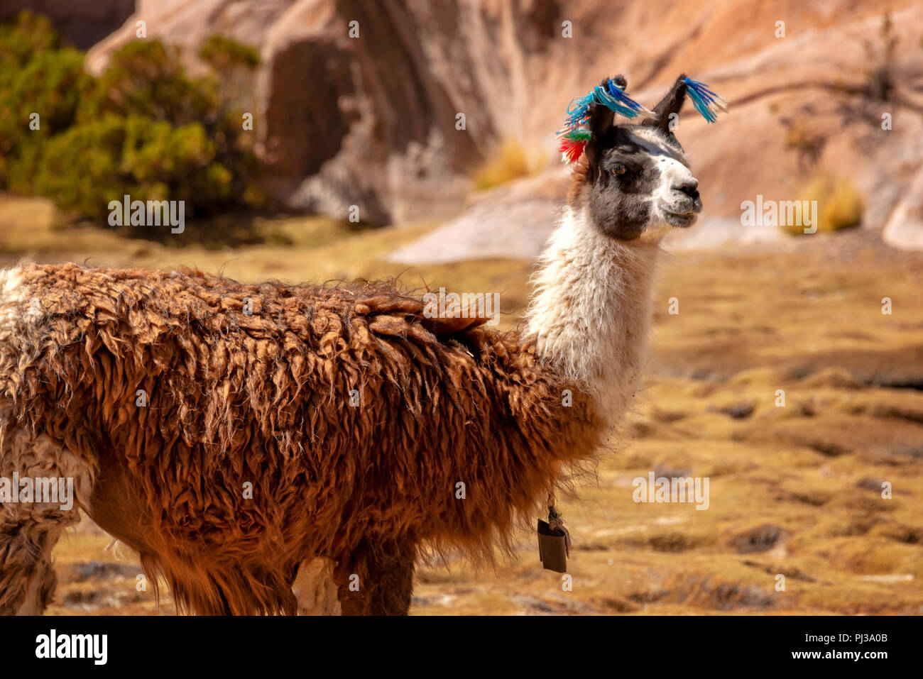 Portrait of a llama looking in Bolivia, South America - Stock Image
