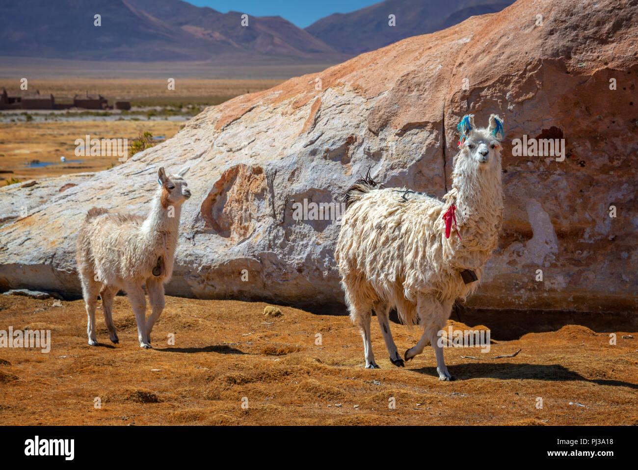 Domestic llamas grazing on the altiplano in Bolivia - Stock Image