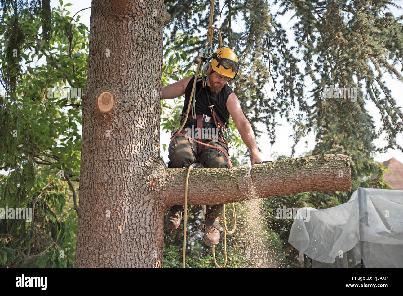 Arborist at work cutting a tree branch using a chainsaw. - Stock Image