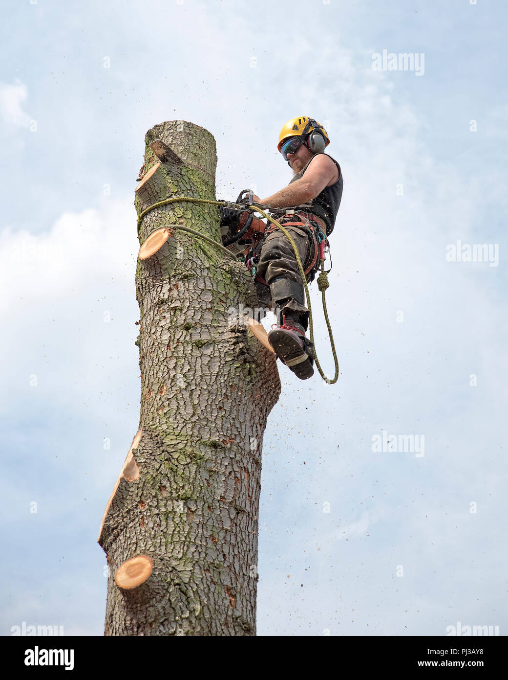 Tree Surgeon using a chainsaw while roped to the top of a tree. - Stock Image