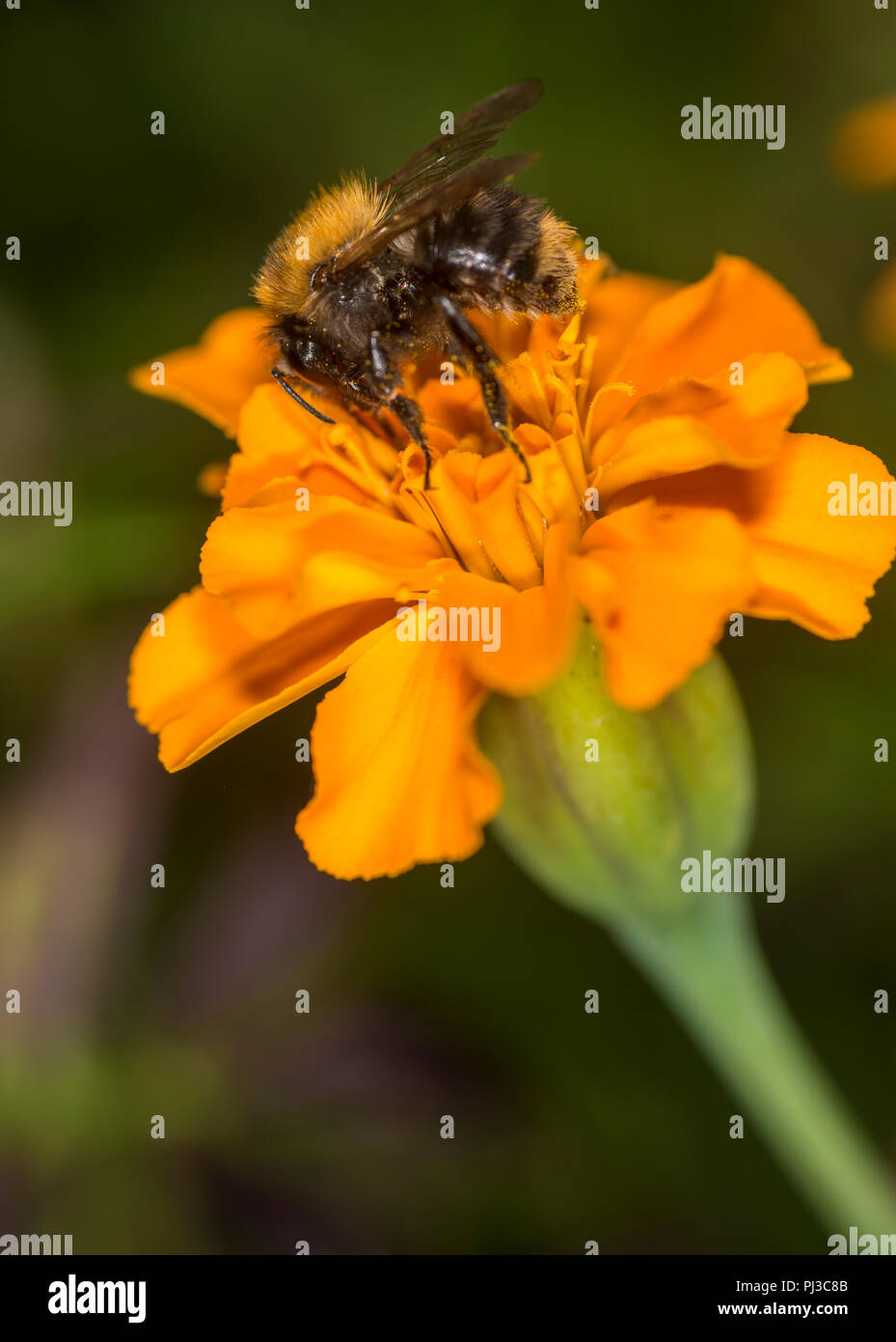 Bumblebee taking nectar from a colorful flower Stock Photo