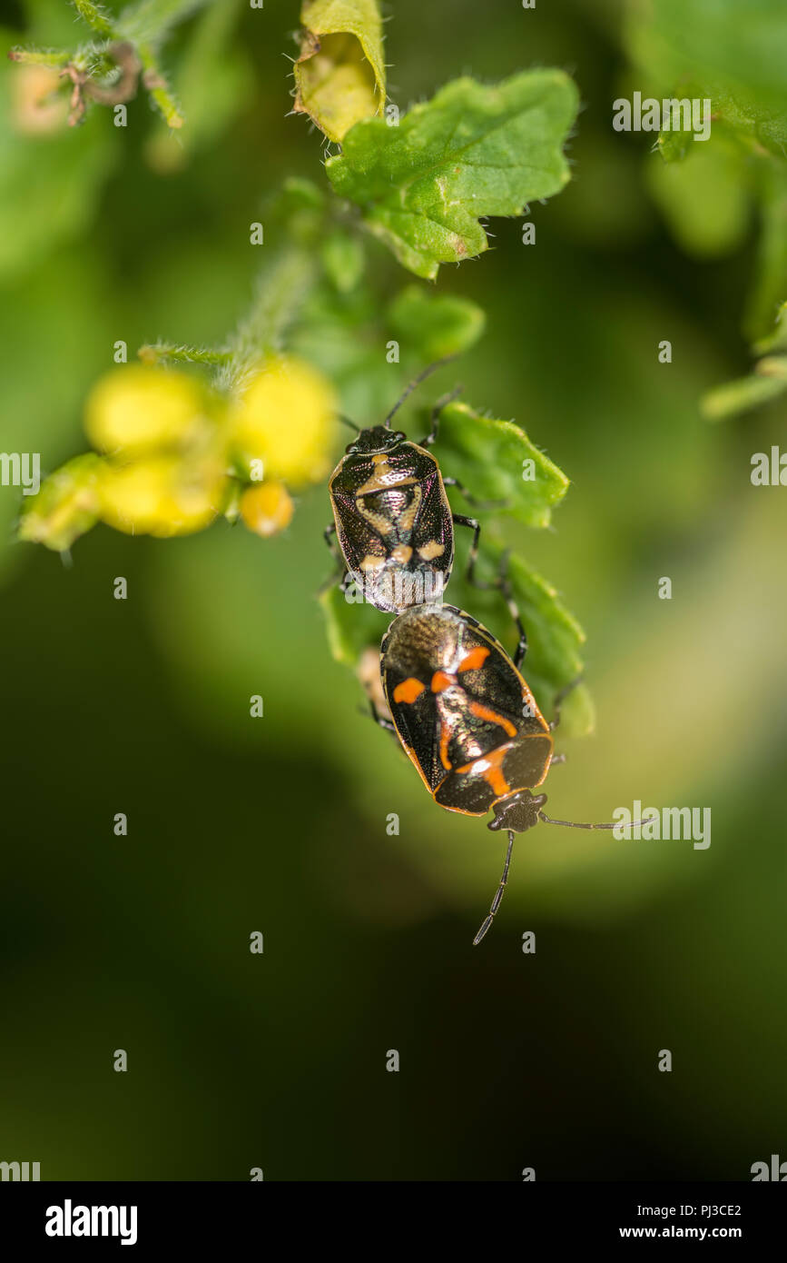 Two shield bug nymphs mating - Stock Image