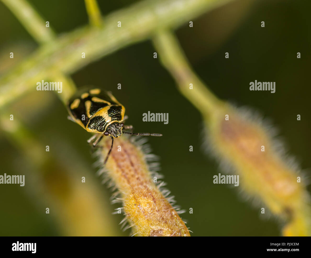Newly hatched brown marmorated shield bug on a twig Stock Photo